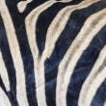 Постер, плакат: Zebra skin texture