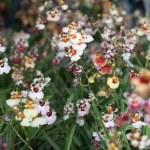 Tolumnia fancy flower — Stock Photo
