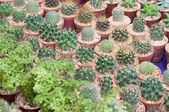 Kaktus výsadby — Stock fotografie