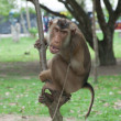 Fierce chain up monkey — Stock Photo #13231182