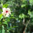 Chinese rose - Hibiscus Rosa sinensis — Stock Photo