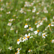 White grass flower — Stock Photo