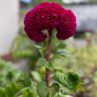 Red Celosia cristata L - Cockscomb Flower — Stock Photo