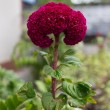 Red CelosicristatL - Cockscomb Flower — Stockfoto #30747545