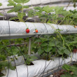 Stock Photo: Strawberry plant in garden nursery