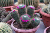 Pink Flower on Cactus — Stock Photo