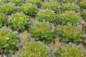 Vegetales de hidroponía — Foto de Stock