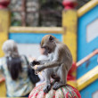 Stock Photo: Cynomolgus Monkey at Batu Caves