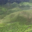 Tea Field in Cameron Highlands, Malaysia — Stock Photo