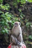 Cynomolgus Monkey at Batu Caves — Stock Photo