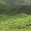 Tea Field in Cameron Highlands, Malaysia — Stockfoto