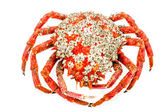 Spider Crab — Stock Photo