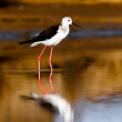 Black-Winged Stilt — Stok fotoğraf