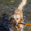 Golden Retriever - Foto Stock