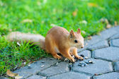 Eurasian squirrel - Sciurus vulgaris — Stock Photo