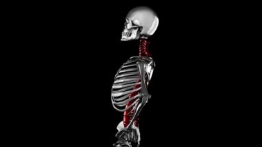 Human skeleton model rotate. Alpha matted — Stock Video