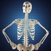 Human skeleton model — Stock Photo