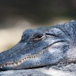 American Alligator - Stock Photo