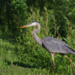 Great Blue Heron — Stock Photo #13329666