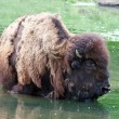 Stock Photo: Bison wading