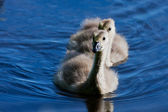 Portrait of a small gosling — Stock Photo