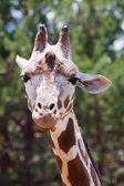 Jirafas en el zoológico — Foto de Stock