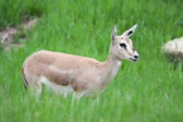 Thomson's gazelle female — Stock Photo