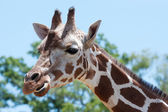 Giraffe at the zoo — Stok fotoğraf