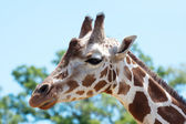 Giraffe at the zoo — 图库照片