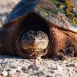 Stock Photo: Common Snapping Turtle