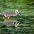 Great Blue Heron Fishing — Stock Photo #13821697
