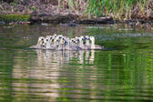 A group of Canadian goslings — Stock fotografie