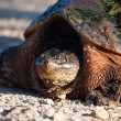 Common Snapping Turtle — Stock Photo