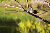 Female wood duck in a tree — Stock Photo