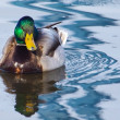 Male Mallard Swimming — Stock Photo