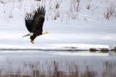 American Bald Eagle fishing — Stock Photo