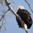 American Bald Eagle — Stock Photo