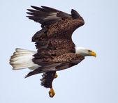 美国白头鹰飞 — 图库照片