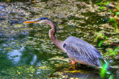 Great Blue Heron Hunting in the Swamp in hdr — Stock Photo