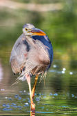 Great Blue Heron Fishing in hdr — Stock Photo