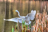 Great Egret Taking Off in hdr — Stock Photo