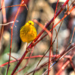 Stock Photo: Yellow Warbler in hdr