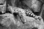 Amur Leopard resting in hdr and Black and White — Stock Photo