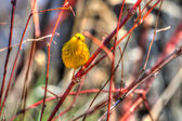 Yellow Warbler in hdr — Stock Photo