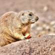 Prairie dog eating in High Dynamic Range hdr — Stock Photo