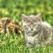 Kitten Playing in the Grass in High Dynamic Range — 图库照片
