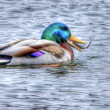 Mallard eating a Fish in High Dynamic Range - Stock Photo