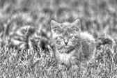 Kitten Playing in the Grass in B&W hdr — Stock Photo