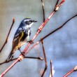 Yellow-rumped Warbler in High Dynamic Range — Stock Photo