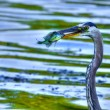 Great Blue Heron catches a Bluegill in High Dynamic Range — Stock Photo #26117207